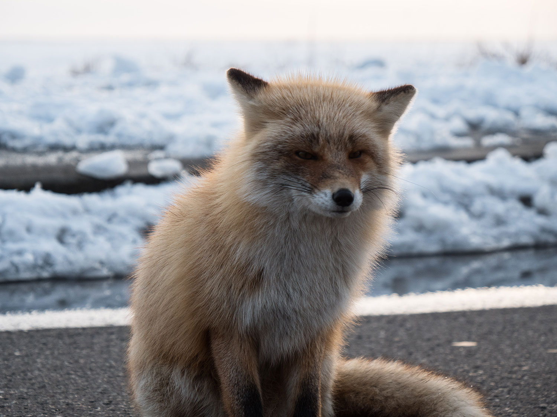 Winterfox by Lena Stoffel